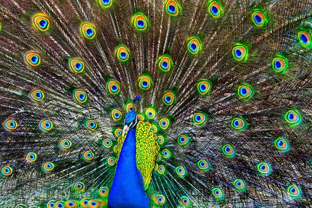 A blue peacock with colorful open feathers filling the entire frame.