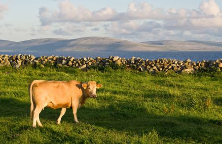 A cow in sharp focus in the foreground on green grass. A soft background consists of Galway Bay and The Burren in Ireland.