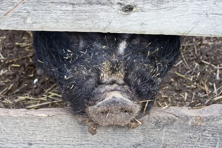 A pig sticking his snout through a fence Stock Photo