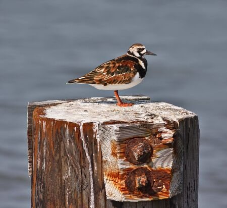 A ruddy turnstone bird on a wooden perch with out of focus water in the background