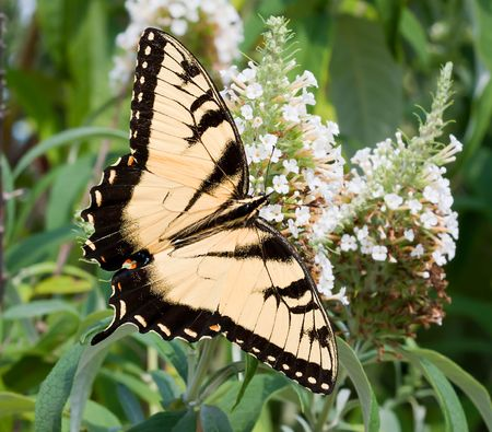 swallowtails: An Eastern Tiger Swallowtail (Papilio glaucus) butterfly on a flower in a garden
