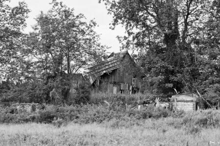 barn black and white: An old, ruined wooden barn surrounded by trees and weeds Stock Photo