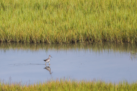 A greater yellowlegs sandpiper wild bird in a pond. Scientific name is Tringa melanoleuca. Stock Photo