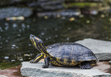 A Western Painted Turtle on a rock by a pond Stock Photo