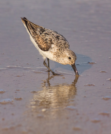 A Western Sandpipe on the beach in the water. The scientific name of this bird is Calidris or Erolia mauri. Stock Photo