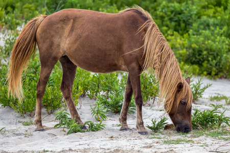 A Wild pony, horse, of Assateague Island, Maryland, USA. These animals are also known as Assateague Horse or Chincoteague Ponies. They are a breed of feral ponies that live in the wild on an island off the coast of Maryland and Virginia. It is unknown how the animals originally populated the island, although there are a few legends.