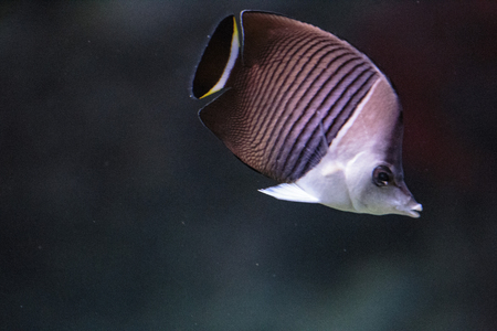 warm water fish: floating in an aquarium exotic