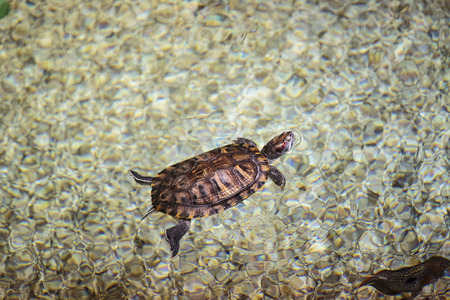 warm water fish: floating in an aquarium exotic