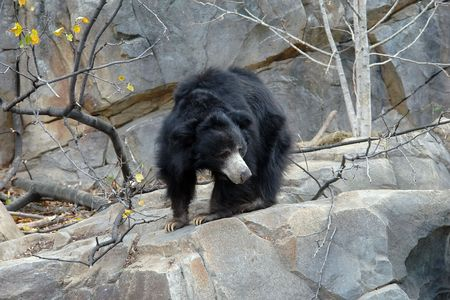 A sloth bear photo