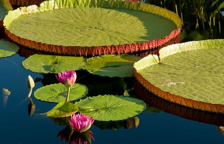 Water lily and water platter photo