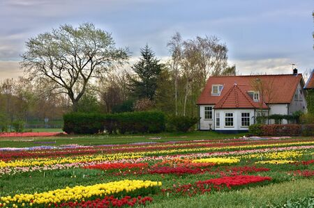Multicolored tulip field in Keukenhof, The Netherlands photo