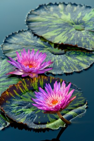 dupont: Water lily Stock Photo