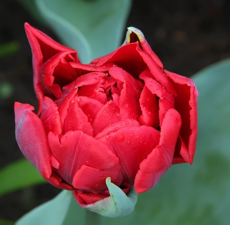 Red tulip flower with waterdrops photo
