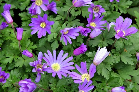 windflower: Flower - Anemone balnda Blue Star
