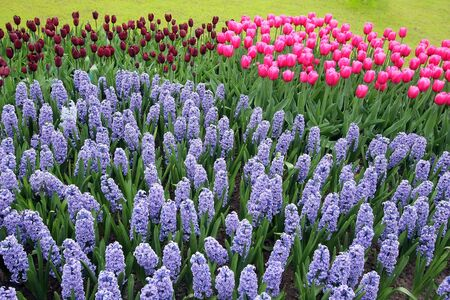 Hyacinths and tulips Stock Photo - 4267604