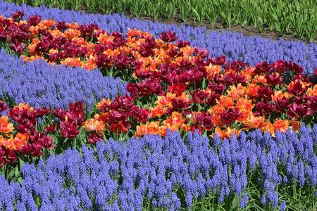 Multicolored tulips and bluebells photo