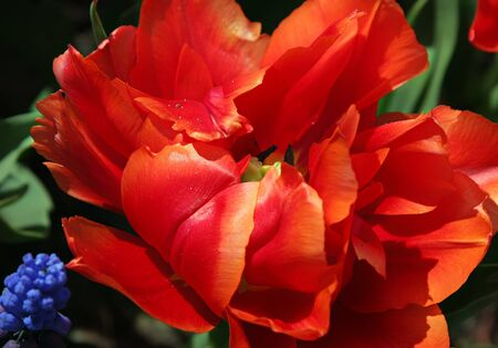 Close-up of exotic tulip flower Stock Photo - 4326871