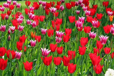 Field of multicolored tulips Stock Photo - 4332255
