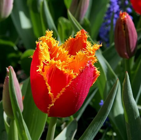 Close-up of exotic tulip flower Stock Photo - 4332223