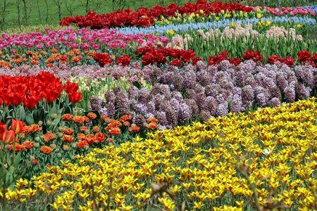 virágágy: Multicolored flower bed in Keukenhof gardens, Holland