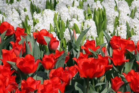 hyacinths: Red tulips and white hyacinths