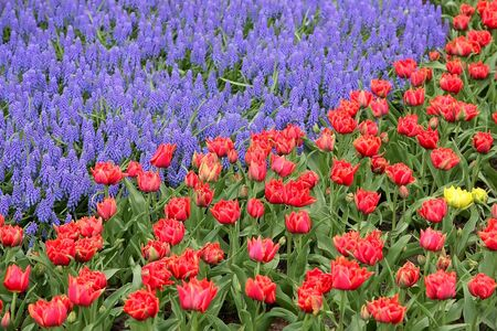 Tulips and bluebells, Keukenhof, the Netherlands Stock Photo - 4370825