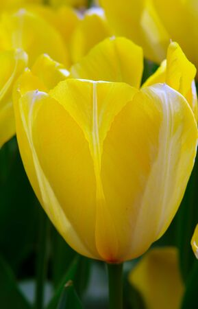 Close-up of yellow tulip flower Stock Photo - 4420068