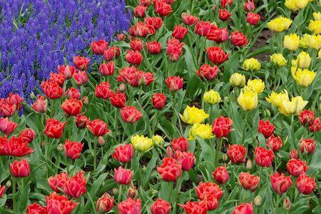Tulips and bluebells, Keukenhof, the Netherlands Stock Photo - 4420171