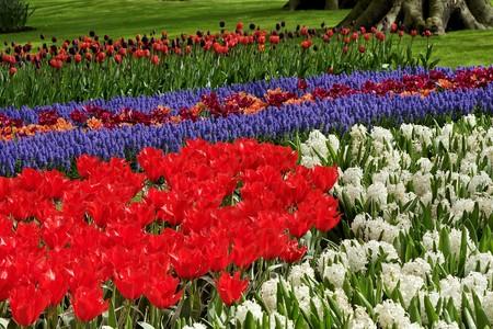 bulb fields: Spring flowers in Keukenhof gardens, the Netherlands