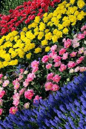 Flower bed, Keukenhof, the Netherlands Stock Photo - 4420186