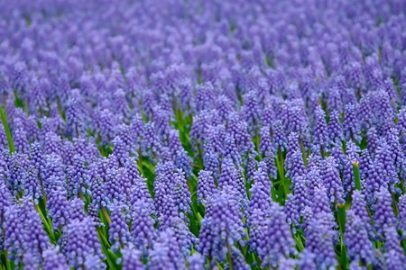 Natural backgrounds: Bluebells (Grape Hyacinth, Muscari armeniacum) Stock Photo - 4460748