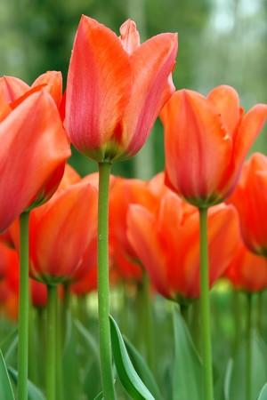 Red tulips, Keukenhof gardens, the Netherlands Stock Photo - 4460742