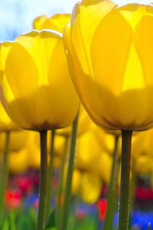 Soft-focus closeup of yellow tulip flowers photo