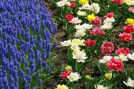 Hyacinths and tulips, Keukenhof, the Netherlands Stock Photo - 4460756
