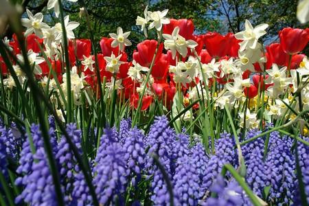 Spring flowers in Keukenhof gardens, the Netherlands photo