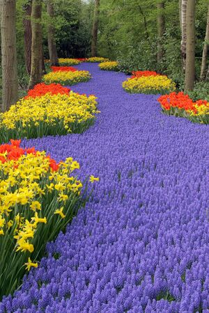hyacinths: Flower bed, Keukenhof, the Netherlands Stock Photo