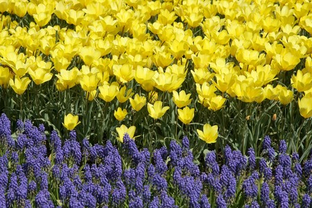 hyacinths: Yellow tulips and hyacinths