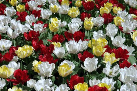 Floral pattern: multicolored tulips, Keukenhof gardens photo