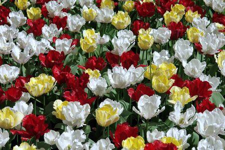 Floral pattern: multicolored tulips, Keukenhof gardens photo