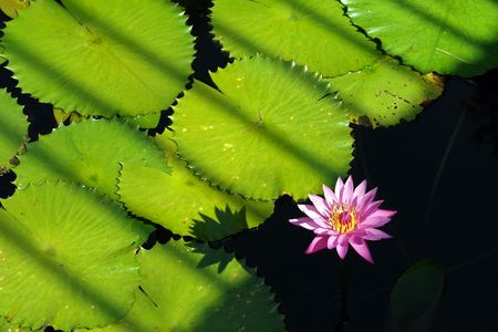 Tropical waterlily Stock Photo - 4707392