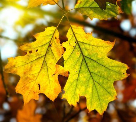 Yellow oak leaves in sunlight photo