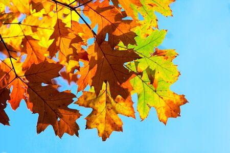 Multicolored autumn oak leaves Stock Photo - 5615100