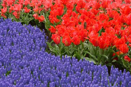 Spring flower bed in Keukenhof gardens, the Netherlands Stock Photo - 6324405
