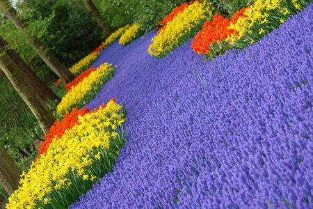 Spring flower bed in Keukenhof, the Netherlands Stock Photo - 6367239