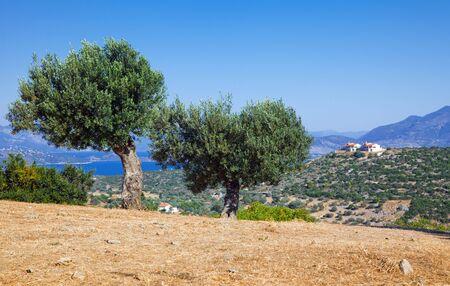 Olive trees, Poros, Greece photo