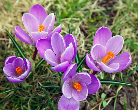earliest: Close up of crocus flowers