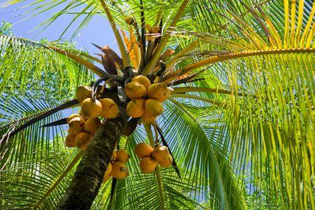 palmtree: Palmtree with yellow coconuts