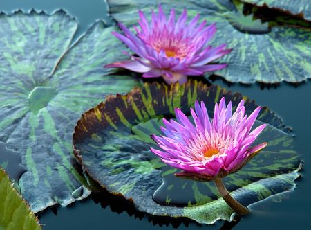 garden pond: Water lily Stock Photo