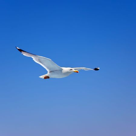Flying seagull photo