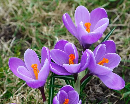 Close up of wild crocus flowers photo